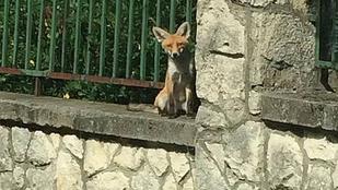 Róka ült az Arany János Gimnázium kerítésére