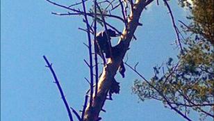 15 méteres magasságban ölelte a fát a szibériai múmia