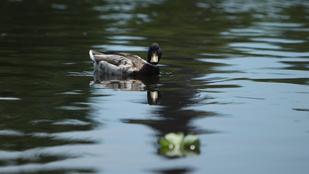 Mérgező anyag kerülhetett a Városligeti tó vizébe
