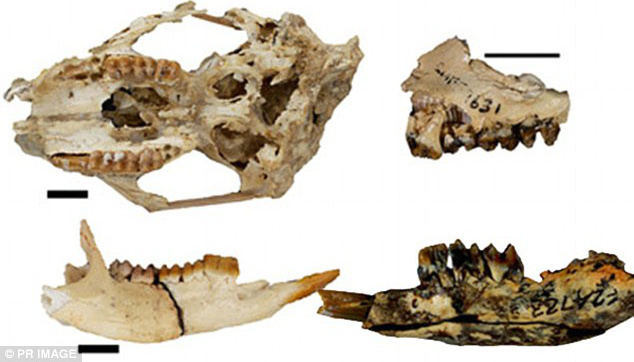 A Gumardee springae koponyája és alsó állkapcsa illetve a Gumardee richi állkapocsának töredéke. Az ausztrál őserdőben éltek 24 és 18 millió évvel ezelőtt.