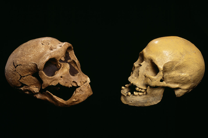 e4380090-neanderthal and modern human skulls