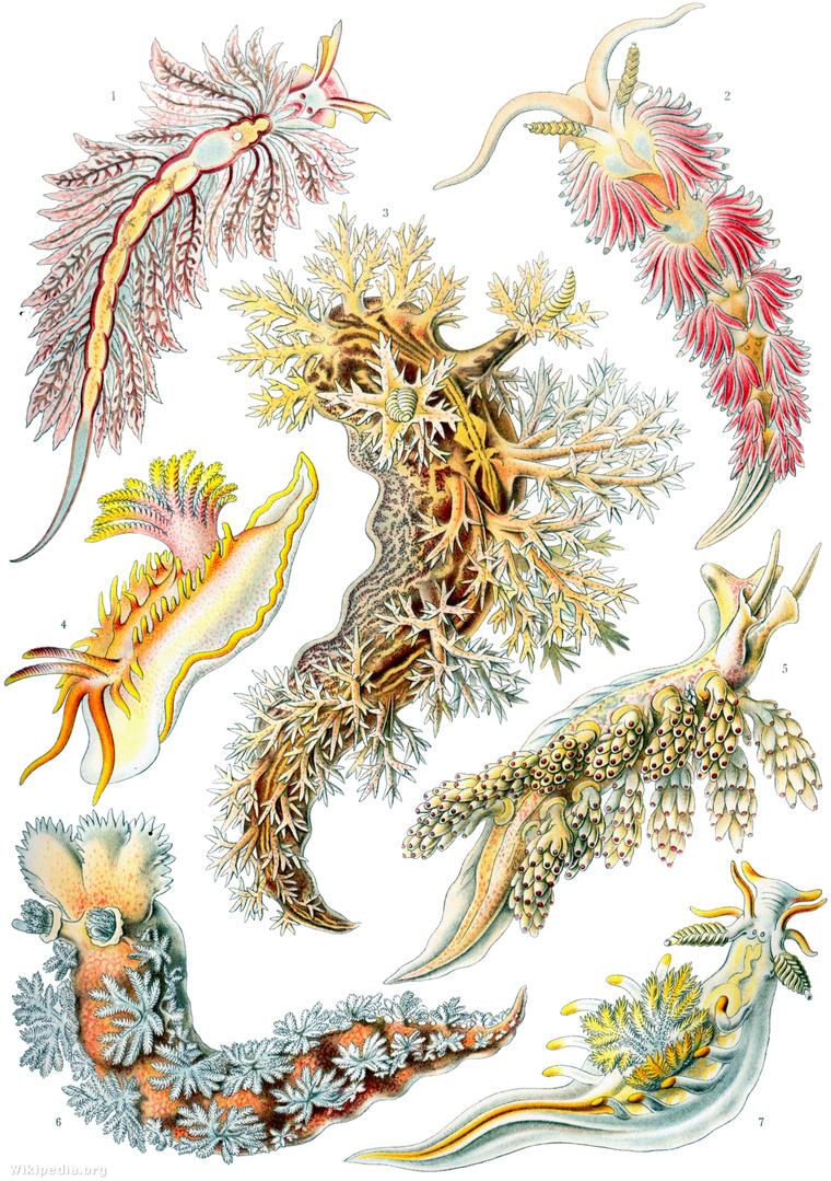 Ha nem látott még csupaszkopoltyús csigákat, így kell elképzelnie őket