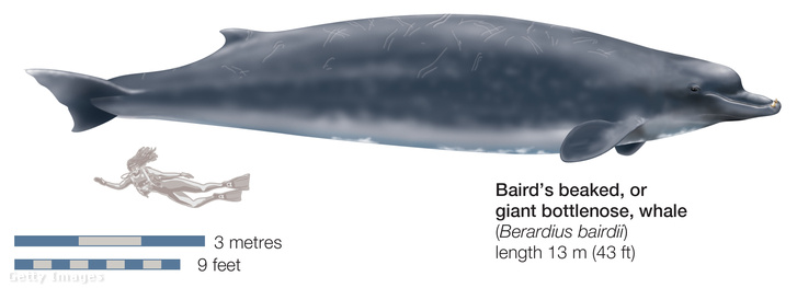 Berardius bairdii, korábban azt hitték, ennek a csőröscetfélének a kisebb rokona