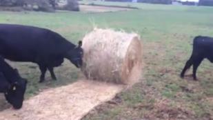 Ha gyepszőnyeget fektetne, alkalmazzon teheneket!