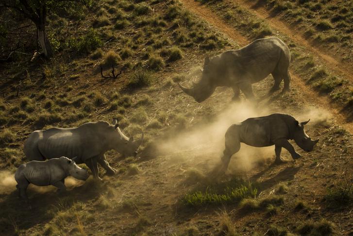 Orrszarvúcsalád a Dél-afrikai Finfoot rezervátumban