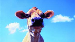 Egy hónap után ért véget a szökött tehén ámokfutása