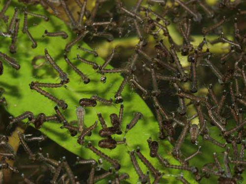 Szúnyoglárvák közelről