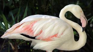 Egy látogató miatt halt meg a táncoslábú flamingó