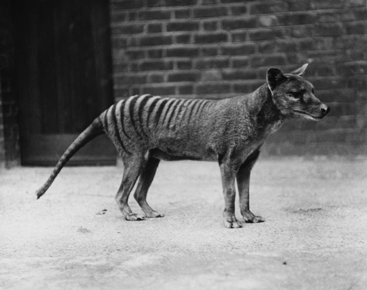 Egy fogságban tartott tasmán tigris 1930 körül.