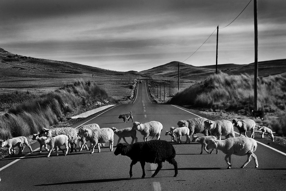 """""""Gyakran álldogált valamelyik kis templomocskának lépcsején, míg nyája előtte térdepelt a hőségtől felpörzsölt úton.""""                         Perué a világ egyik leggyorsabban növekvő gazdasága, az iparosodás és a kereskedelem kezdik kiszorítani a hagyományos állattartást és a mezőgazdaságot. 50 éve még a lakosság fele élt gazdálkodásból, ma már csak az ország negyede. A gyarmatosítás korában is leginkább alpakákat és birkákat tartottak a gyapjújukért."""