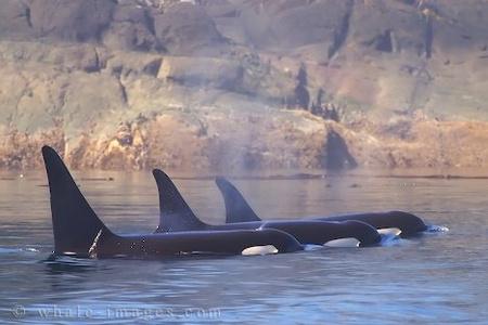 killer-whale-picture 13