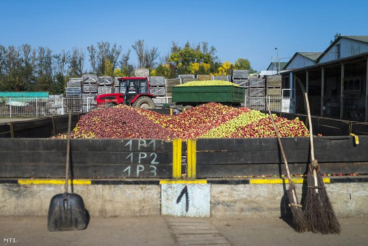Almahalom a Brix-Trade Kft. sûrítménykészítõ üzemének telephelyén Nagykállóban 2014. október 11-én. Ezen a napon kezdte meg az ipari alma felvásárlását a Magyar Nemzeti Kereskedõház (MNKH) Zrt.