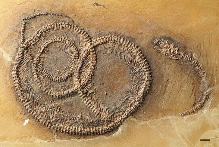 snake-fossil-main