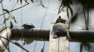 Ne keresse a teknősöket a Feneketlen-tónál!