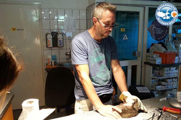 Lehoczky Krisztián először megvizsgálta a sérült sünit.