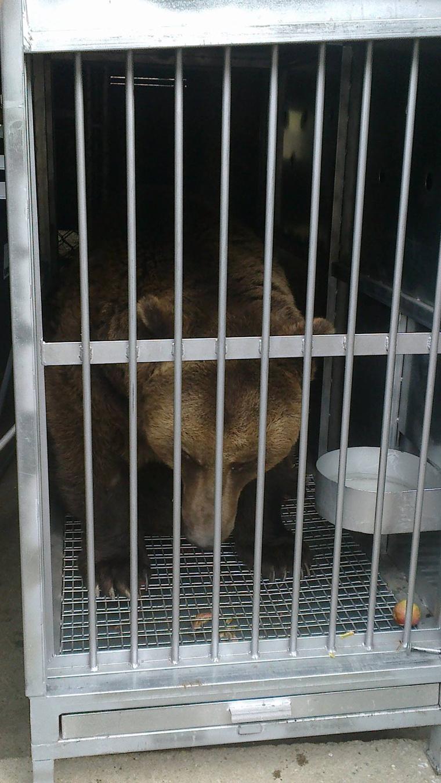 Így tettek meg 2500 kilométert Spanyolországból a medvék. A képen csak egyikük látszik.