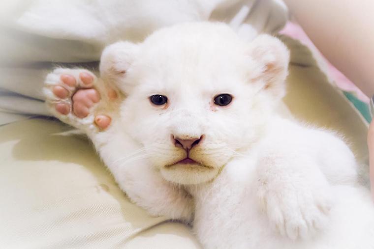 A kis oroszlánhölgy szépen gyarapodik, súlya 2720 gramm.