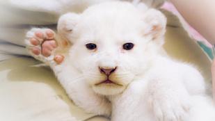 Kedvenc plüssállatával alszik az egyhónapos fehér oroszlánbébi