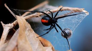 Az ausztrál férfi pénisze az ajánlottnál kettővel többször találkozott egy pókkal
