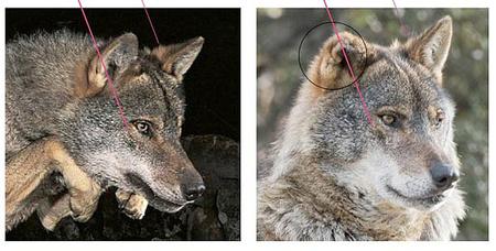Ossian az idomított farkas (forrás: theadventurelife.org)