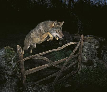 A díjnyertes fotó. Idomított farkas?