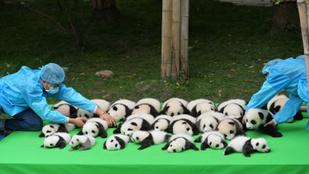 Látott már 23 pandabébit egy rakáson?