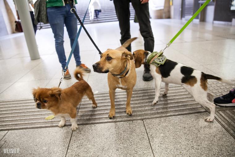 Tudta? Ma van az Állatok Világnapja! Tehát nem véletlen, hogy a Rex Kutyaotthon Alapítvány és a Budapesti Közlekedési Központ október 4-én adott tanácsokat, hogyan lehet biztonságosan és szabályosan tömegközlekedni a kutyákkal.