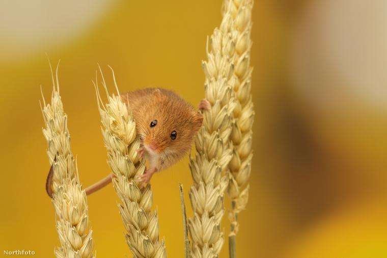 tk3s sn harvest mouse 9