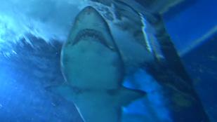 48 órán át utazott egy cápa, hogy Nyíregyházán találja meg a szerelmet