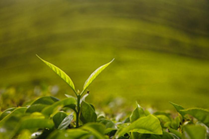 Milyen tea jó a fogyáshoz. Gyógynövények fogyáshoz - ezeket ajánlja Szabó Gyuri bácsi