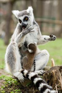 Katta és kölyke Fotó: Nyíregyházi Állatpark