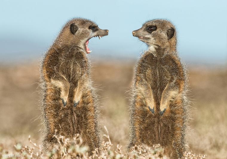 Mindeközben két szurikáta összeveszett valamin a dél-afrikai vadonban