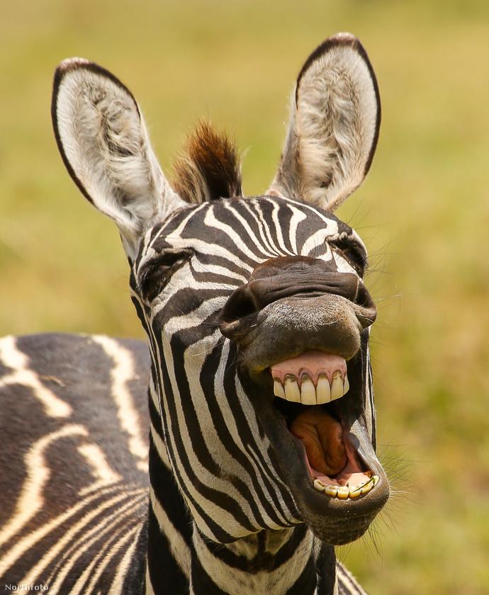 Grimaszolásban verhetetlenek a zebrák