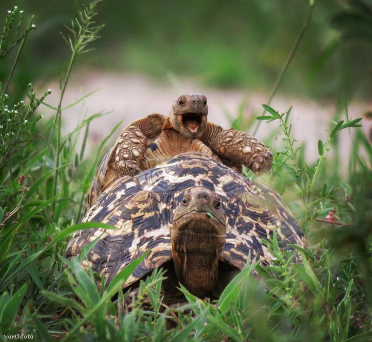 A Tini Nindzsa Teknősök is megirigyelnék ezt az ugrást: egy kis leopárdteknős megpróbál felugrani óriásteknős haverjának a hátára a tanzániai Tarangire Nemzeti Parkban