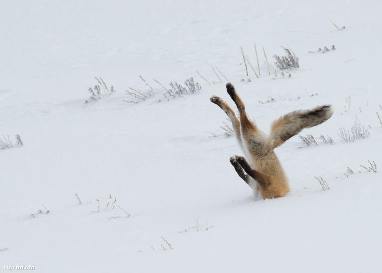 Egy ravaszdi róka pedig a homokba - illetve bocsánat, a hóba dugja fejét