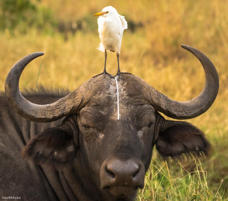 Ez a madár hibátlanul photobombolta egy bivaly portréját a kenyai Meru Nemzeti Parkban.