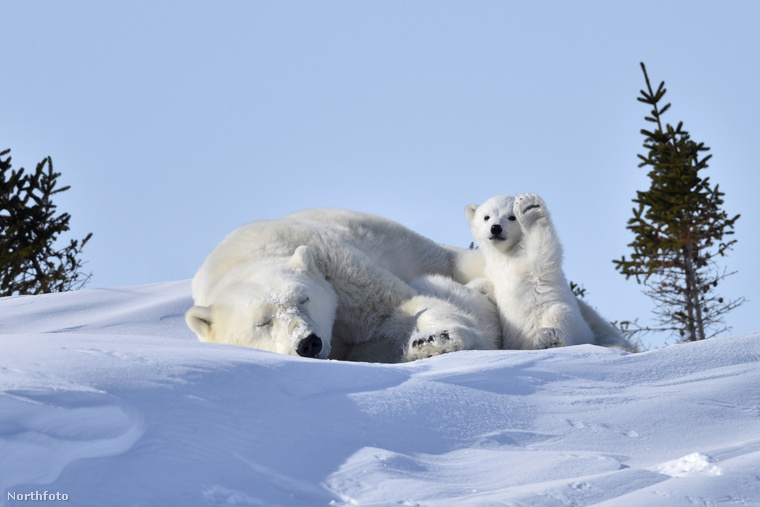 A jegesmedve bocs édesanyjával sziesztázik a napon, miközben arra is jut ideje, hogy pacsit küldjön nekünk - kell ennél több?