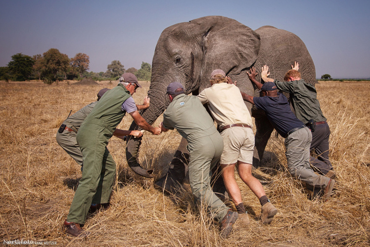 Az African Parks természetvédelmi szervezet 2016 júliusában 500 afrikai elefánt áttelepítését kezdte el