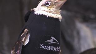 Így már biztos nem fog fázni ez a pingvin