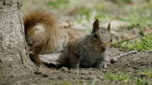A turisták imádják, de egész Európát fenyegeti ez a mókus