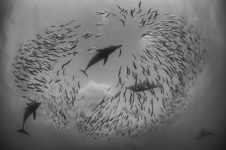 A Fekete-fehér természetfotók kategória első díját Selmeczi Dániel Szardíniákra vadászó delfinek című képe nyerte