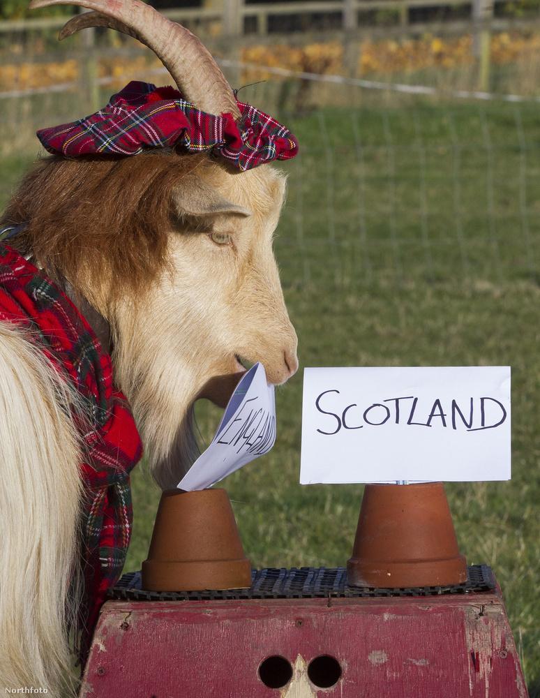 Reméljük, hogy most bejön a jóslatBoots a kecske Angliára voksolt.