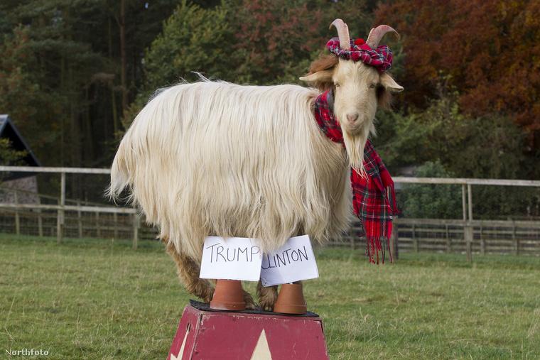Ha nagyban bújja az internetet, akkor már találkozott ezzel a kecskével