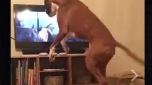 Egy boxer a tévé előtt a John Lewis reklámra ugrált örömében