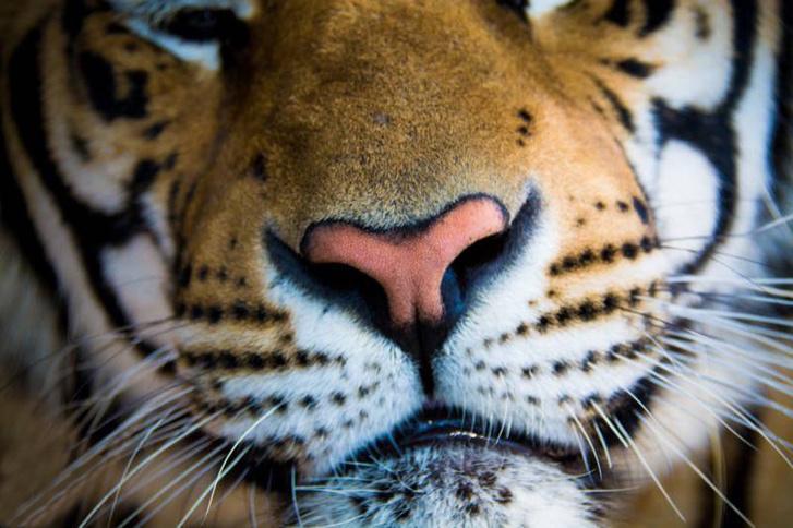 Jó, belelátom én a tigrisorrot