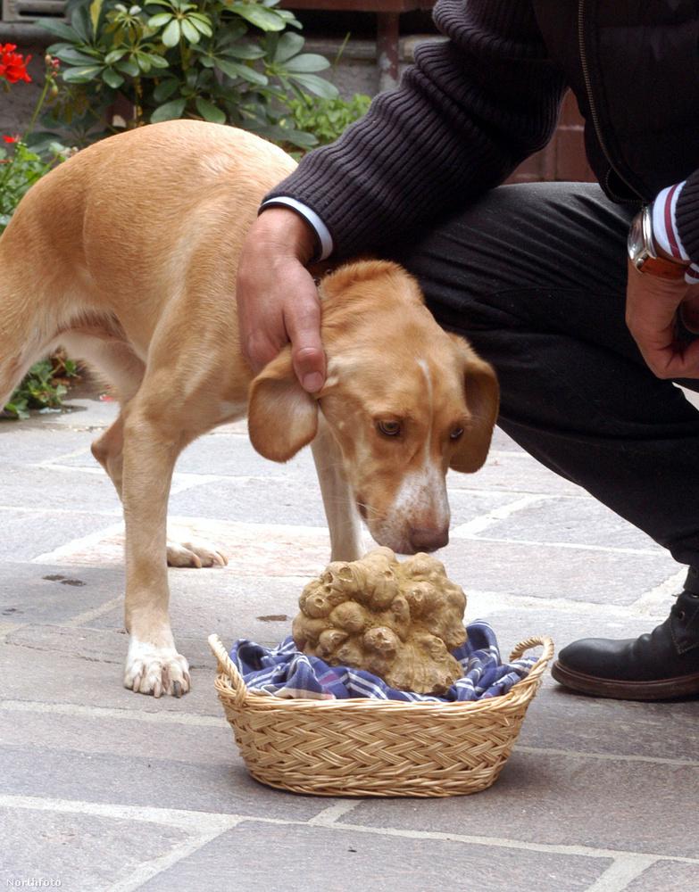 A szarvasgombát egyébként errefelé is kutyákkal keresik, ez a kép 2004-ben készült, amikor rekordméretű példányt találtak valahol Alba mellett