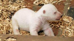 Ezektől a csecsemőkorú jegesmedvéktől tuti el fog olvadni