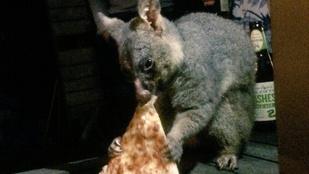 Péntek van, nézegessen pizzát csámcsogó oposszumot!