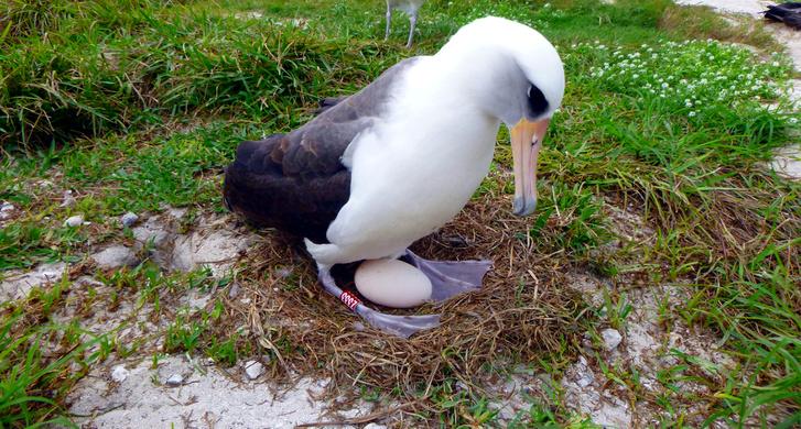 December 3-án készült fotó a tojását melengető Wisdomról