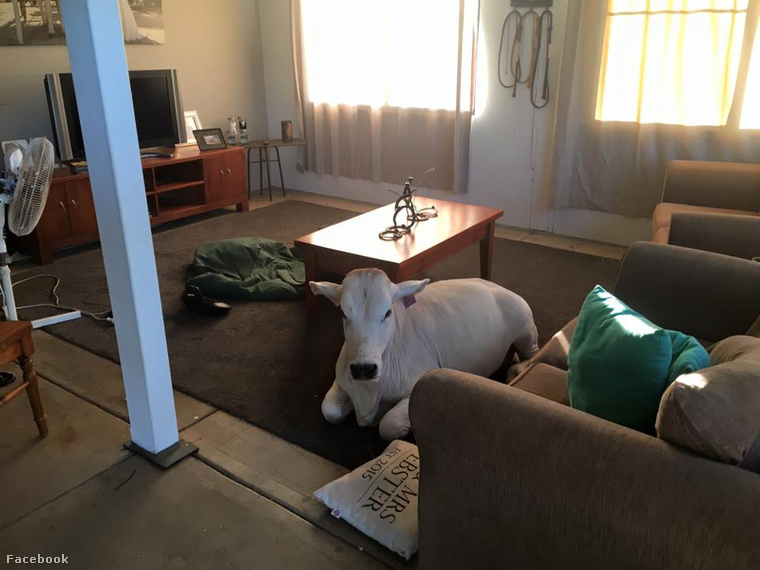 Kezdjük rögtön Beryllel, a tehénnel, aki szentül hiszi, hogyegy kutya.Így aztán nem is nagyon hajlandó fajtársaival vegyülni, helyette inkább a kanapén döglik.